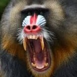 Raging Baboon